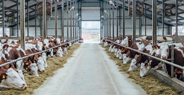 Des vaches laitières en stabulations libres dans une nouvelle étable