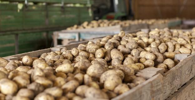 Pommes de terre dans un entrepôt